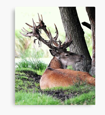 Red deer stag (cervus elaphus) in velvet Canvas Print