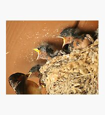 Feed Me! Feed Me! Barn Swallow Babies Photographic Print
