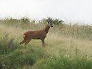 Roe Deer - Mixenden, Halifax, UK by Andy Beattie