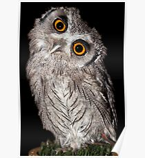 White faced Scops Owl sizing me up Poster