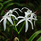 Swamp Lily by Joe Elliott