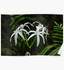 Swamp Lily Poster