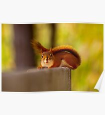 Red tailed Squirrel Poster