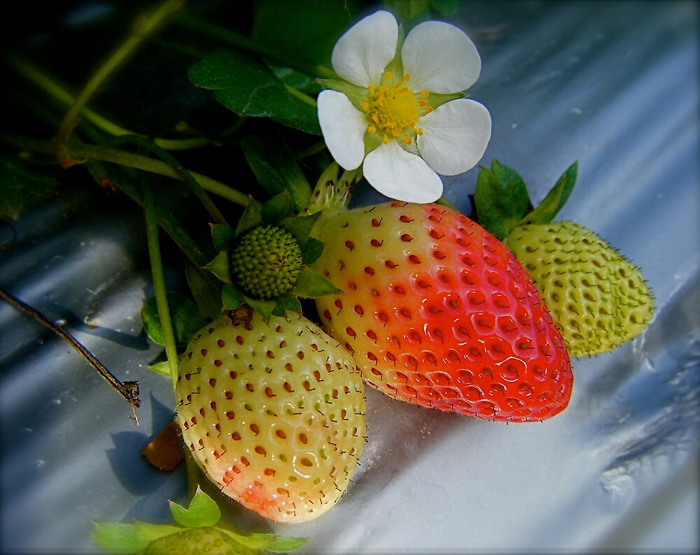 The Strawberry Stage. by Gabrielle  Hope