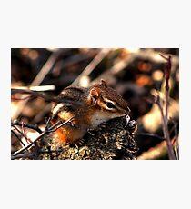 Baby Chipmunk Photographic Print