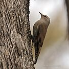 Brown Treecreeper (57) by Emmy Silvius