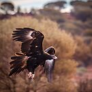 Incoming Wedge-Tailed Eagle by robcaddy