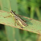 Green Grasshopper,Green Grass... by Tracy Wazny