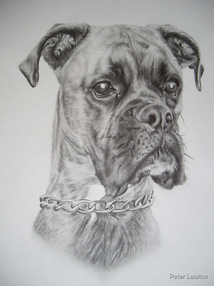 Quot Brindle Boxer Dog Quot By Peter Lawton Redbubble