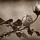 Rose by Jon Staniland