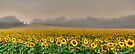 Foggy Sunflowers by Nate Welk
