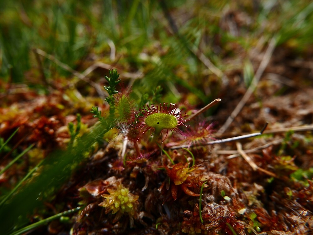 Common Sundew (Drosera rotundifolia) by IOMWildFlowers