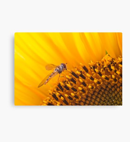 Hover fly on a Sunflower Canvas Print