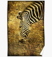 Golden Zebra  Poster