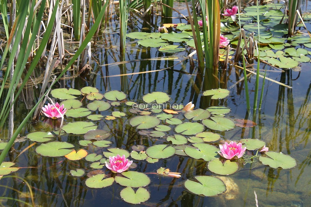 Water Lillies Northern Style by eoconnor