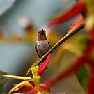 Hummer Flashing His Red Throat by DARRIN ALDRIDGE