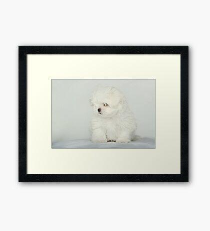 Maltese Puppy Framed Print