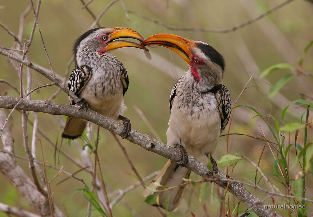 Hornbill Love by naturalnomad