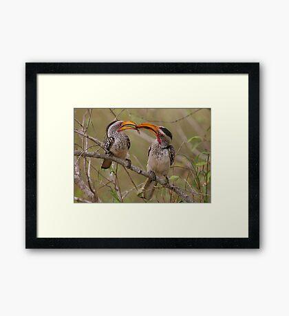 Hornbill Love Framed Print