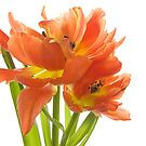 Tulip Swirl by Ann Garrett