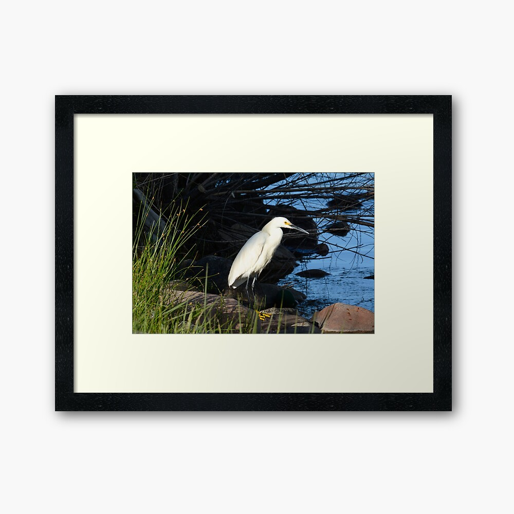 Snowy egret bird on lake shore Framed Art Print