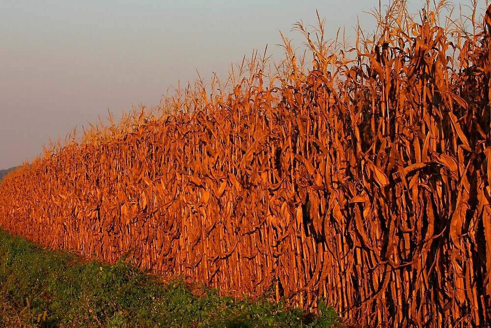 Sun-Painted Corn Field by Patricia Montgomery
