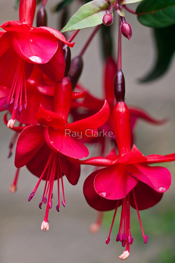 Very Red by Ray Clarke