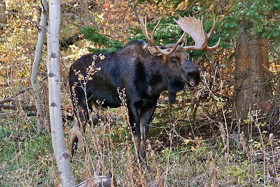 Bull Moose - Park City, Utah by FoxSpirit