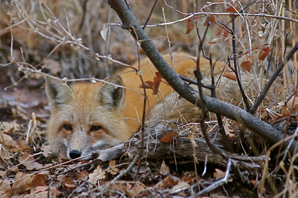 Red Fox Resting, Park City, Utah by FoxSpirit