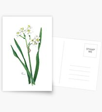 Cluster Daffodils Botanical Illustration Postcards