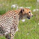Cheetah Profile by Scott Carr