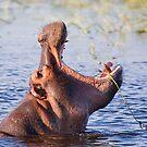 Hippopotamus by Scott Carr
