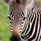 Zebra Foal by Scott Carr
