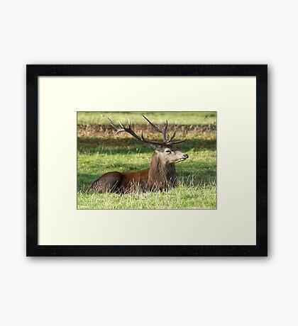 Resting - Red Stag Framed Print