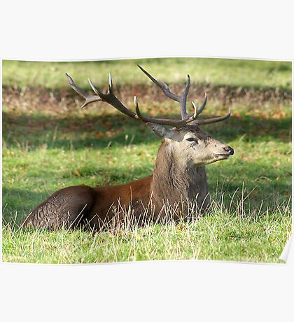 Resting - Red Stag Poster