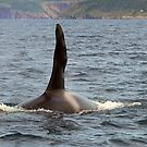 Male Orca.. by DebYoung