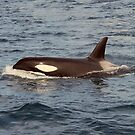 Orca by DebYoung