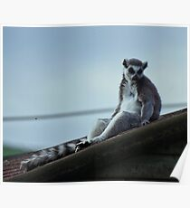 lemur chillen Poster