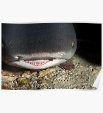 White Tip Reef Shark Poster