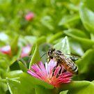 Honey bee by Aaron Baker