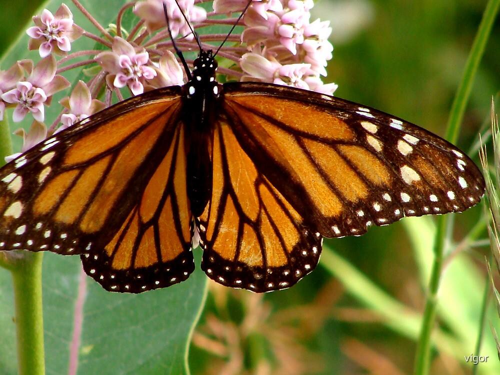 Transluscent Monarch by vigor