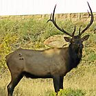 Elk with antlers by Anthony Goldman