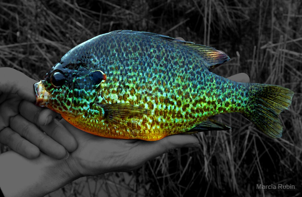 u0026quot a stunning pumpkinseed sunfish u0026quot  by marcia rubin
