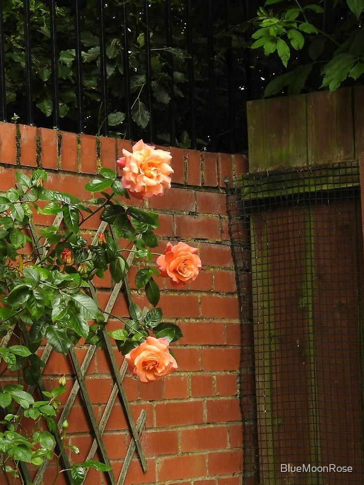 Kletternde Rosen von BlueMoonRose