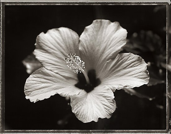 hibiscus by David Milnes