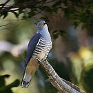 A Secretive Hawk by byronbackyard