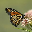 Monarch 2010 by Gregg Williams