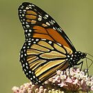 Monarch up close... by Gregg Williams