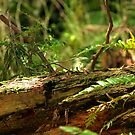 Redwood Trail by neva2010