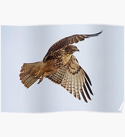 Birthday Hawk Poster